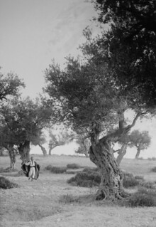 (animated stereo) Dashing Through the Olive Grove