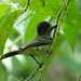 Apical Flycatcher - Photo (c) Dave Curtis, some rights reserved (CC BY-NC-ND)