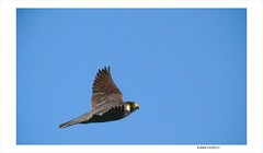 A Rare Find Bird in New York City - Peregrine Falcon in Flight, Image Two