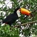 Tucano (Toucan)