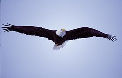 Bald_Eagle_Land_Between_the_Lakes_NRA_KY_CSummers