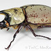 Eastern Hercules Beetle - Photo (c) Ted MacRae, some rights reserved (CC BY-NC-ND)