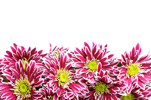 red chrysanthemums postcard