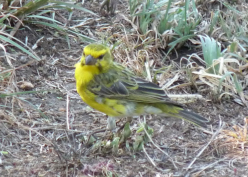 White-bellied Canary - serengeti NP