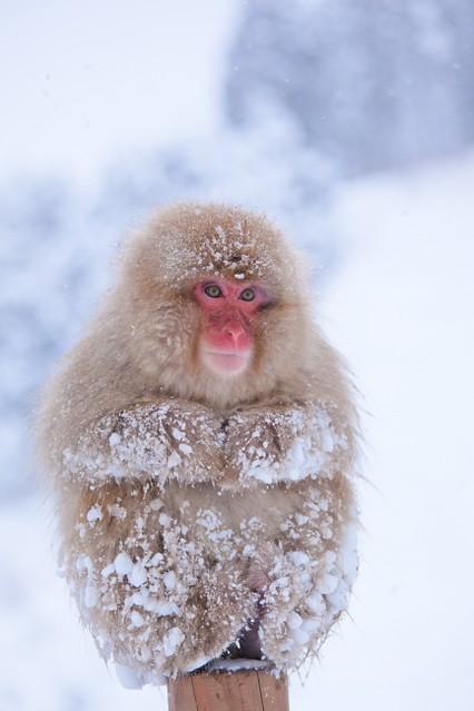 SnowMonkey