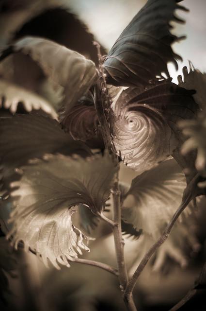 Sepia Spiral Tree