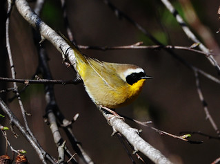 yellowthroat 2-27-11