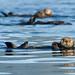 Sea Otters (Paul Marshall)