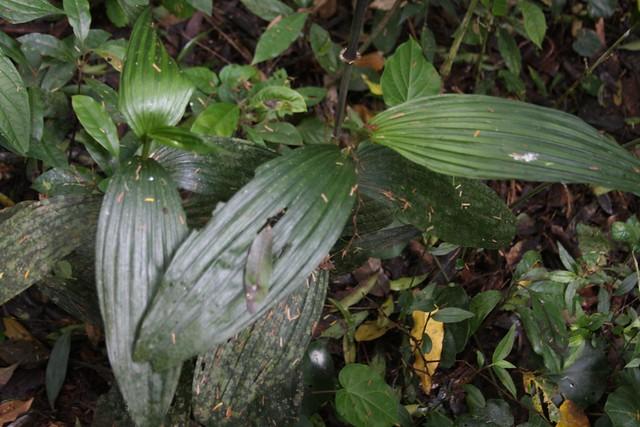 Corymborkis flava no habitat - 2