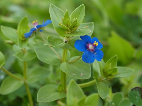 flora cyprus anagallis anagallisarvensis arvensis