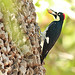 Acorn Woodpecker (Peter Dunn)
