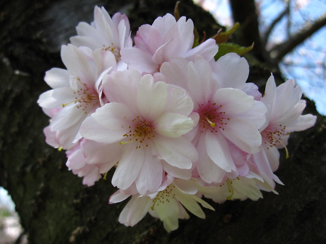 Prunus x subhirtella 'Jugatsu-zakura'