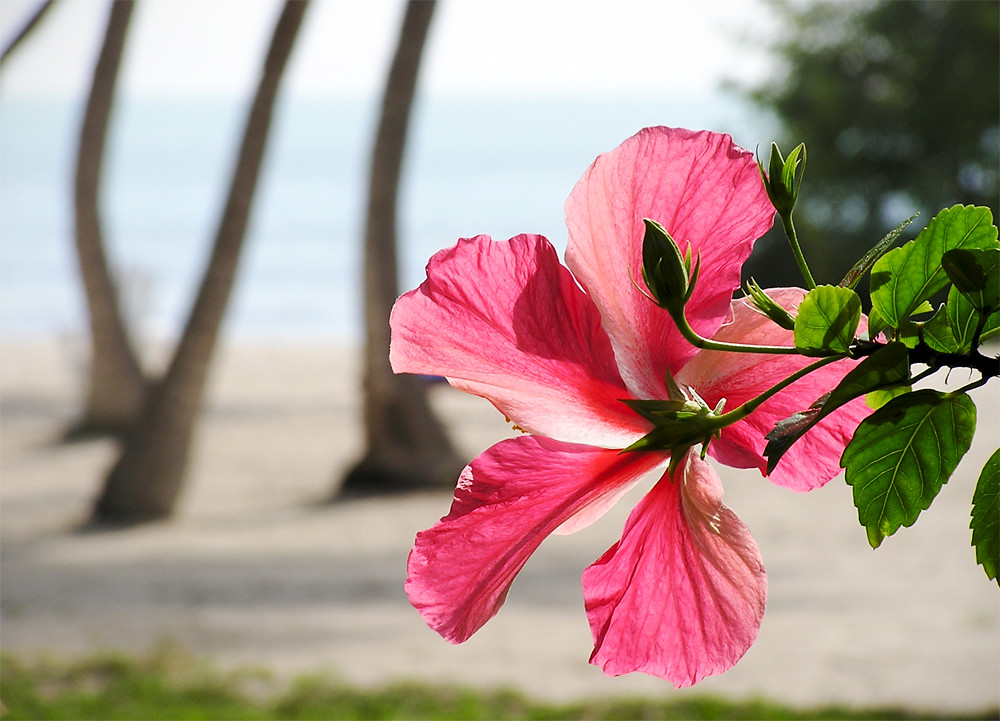 islamorada, florida, hibiscus, kibiskus