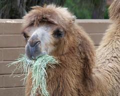 llama(0.0), arabian camel(0.0), alpaca(1.0), animal(1.0), mane(1.0), zoo(1.0), mammal(1.0), fauna(1.0), camel(1.0),