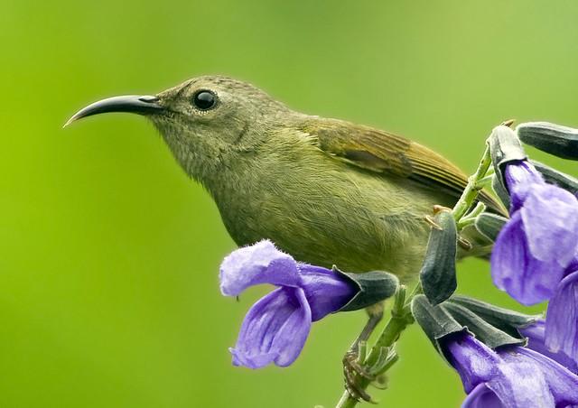Black Throated Sunbird Female ( Aethopyga saturata )