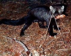 mink(0.0), animal(1.0), mustelidae(1.0), mammal(1.0), fauna(1.0), marten(1.0), viverridae(1.0), wildlife(1.0),