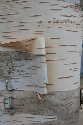 Birch trunk with paperlike peeling bark