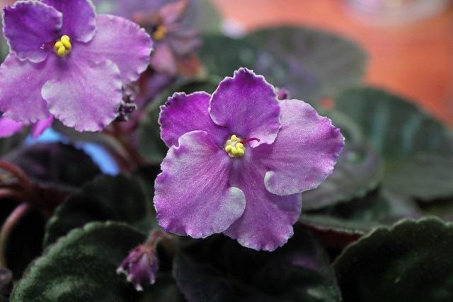 White Wicker and African Violets - a gallery on Flickr