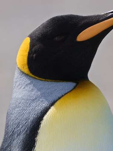 birds penguin