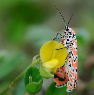 Harlequin moth on yellow flower