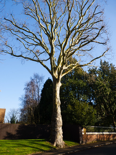 Plane tree in winter