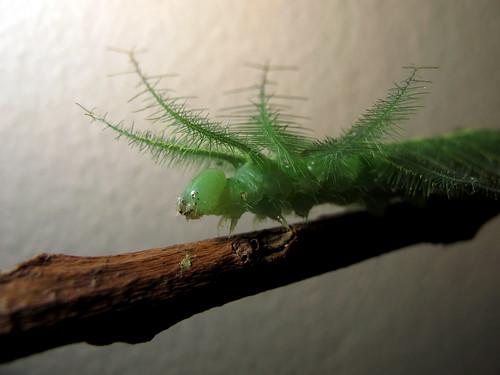 Euthalia aconthea gurda caterpillar