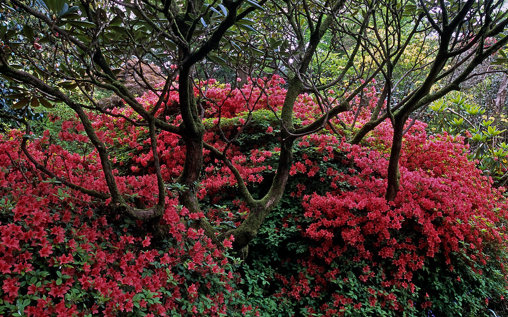 Leonardslee Gardens, West Sussex, UK | A peaceful scene with red Kurume azaleas beneath ancient rhododendrons (7 of 23)