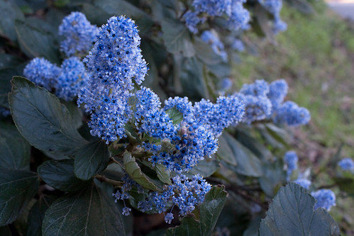 Flickriver melissa gale 39 s photos tagged with ceanothus for Purple flower shrub california