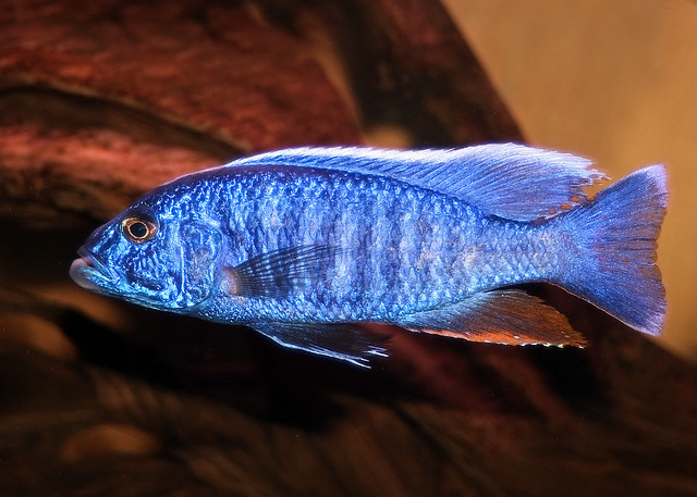 electric blue african cichlid - photo #36