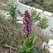 Himantoglossum robertianum (Paul Harmes)