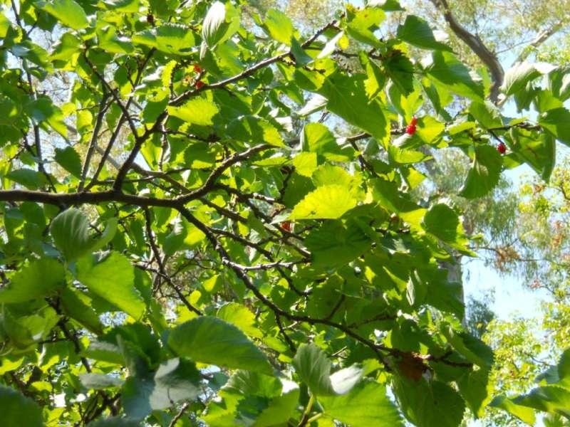 Morus nigra 2