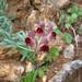 Linaria tristis (Paul Harmes)