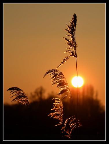 uk sunset england sun nature backlight reeds stem somerset stems backlit somerst levels chedzoy saariysqualitypictures