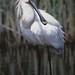 Spoonbill (Malcolm Stott)