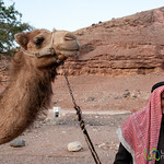 Abu Abdellah Early Morning with his Camel - Feynan EcoLodge, Jordan