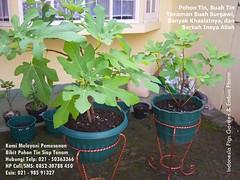 Pohon Tin Buah Tin Tabulampot 021-50363366