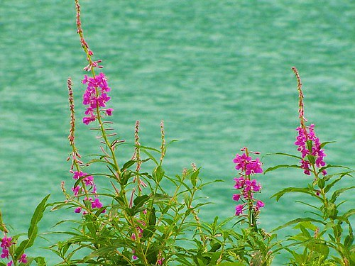 Fireweed and emerald waters