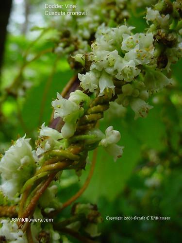 Dodder Vine, Scaldweed - Cuscuta gronovii