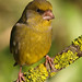 Greenfinch (Carduelis chloris ) by diegocon1964