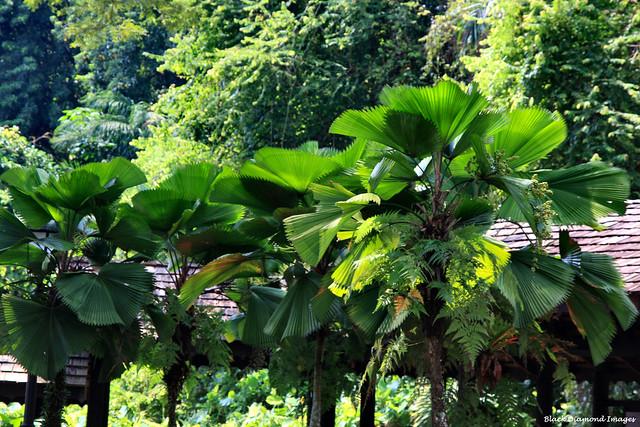 Licuala grandis - Vanuatu Fan Palm