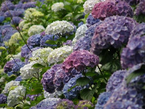 purple, blue, lavender, & white hydrangeas now shipping.