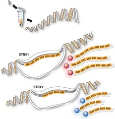 How DNA Profiling Works