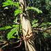 Small photo of Acacia cornigera