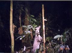 Oriental Civet