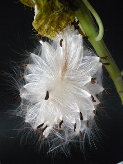 Balloon Cotton Seeds 1