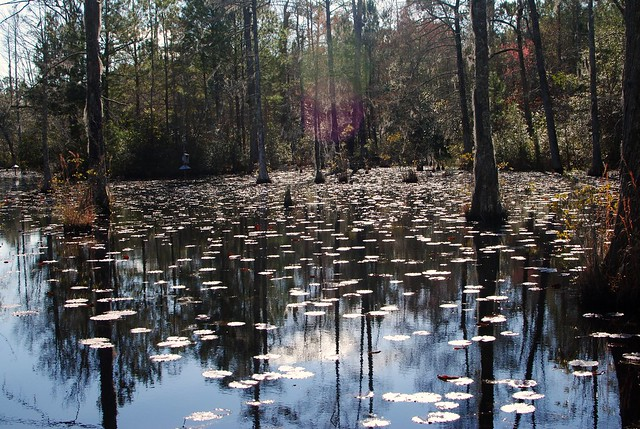lily pads at cypress gardens