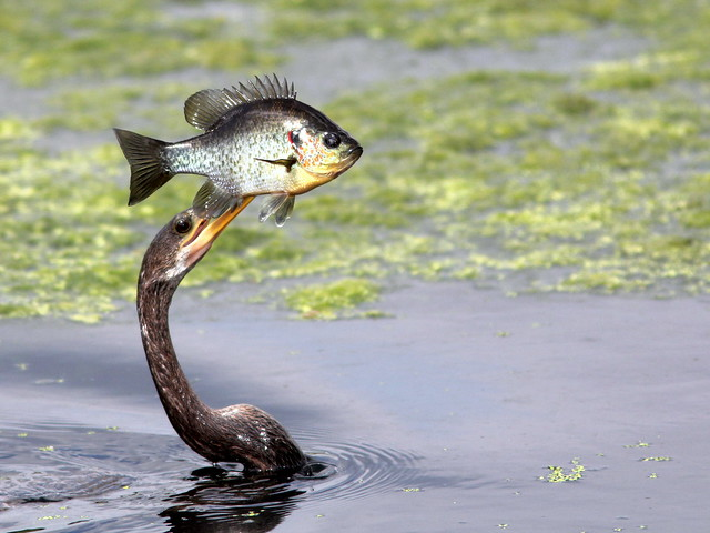 Anhinga with trophy 20110220