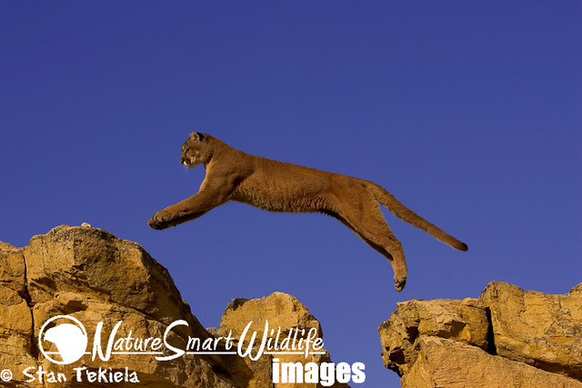 Recent Photos The Commons Getty Collection Galleries World Map App    Puma Animal Jumping