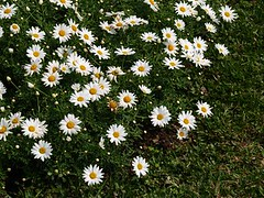 asterales, annual plant, flower, grass, marguerite daisy, chamaemelum nobile, tanacetum parthenium, daisy, wildflower, flora, oxeye daisy, meadow, chrysanths, daisy,