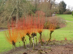 Fiery willows